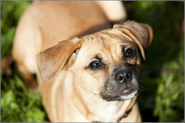 Puggle-Pug-Beagle