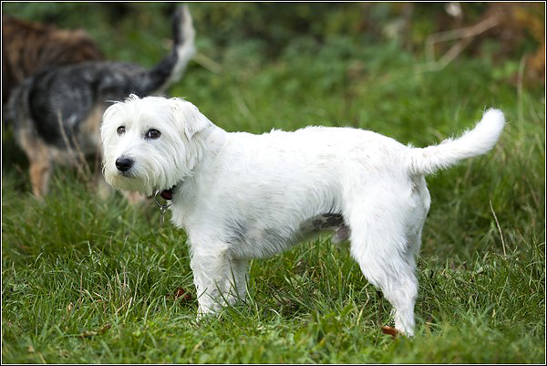 Archie, the Westie/Jack Russell cross