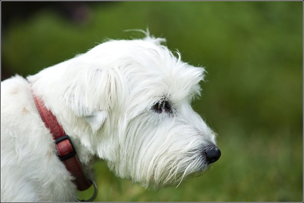 Kent Dog Photographer Westie/Jack Russell