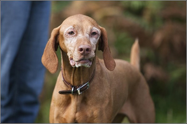 Dog photography in Tunbridge Wells, Hungarian Vizsla