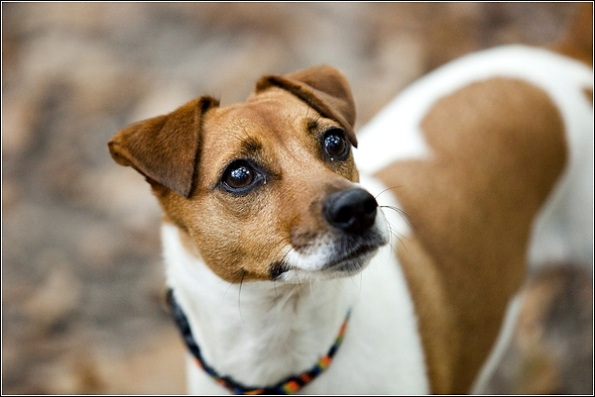 Dog photographer Tunbridge Wells Jack Russell