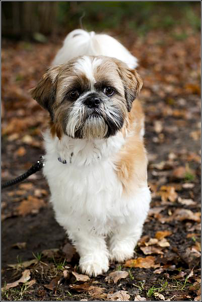 Shih Tzu dog photographer