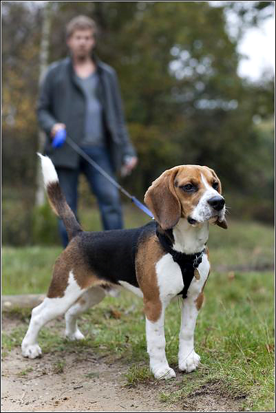 Beagle dog photographer Kent