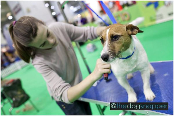 YKC Crufts Groomer of the Year Qualifier - Dizzy, Jack Russell