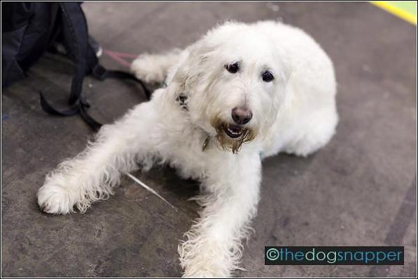Buddy, Labrador/Standard Poodle
