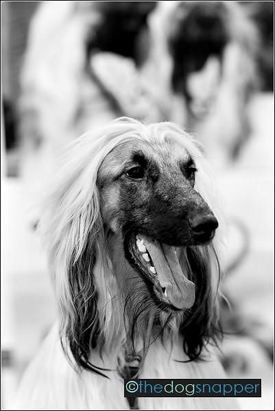 Marcus, Afghan Hound