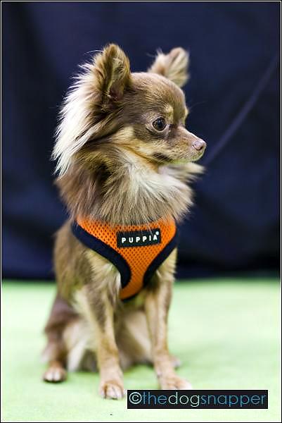 Lucky, Chihuahua
