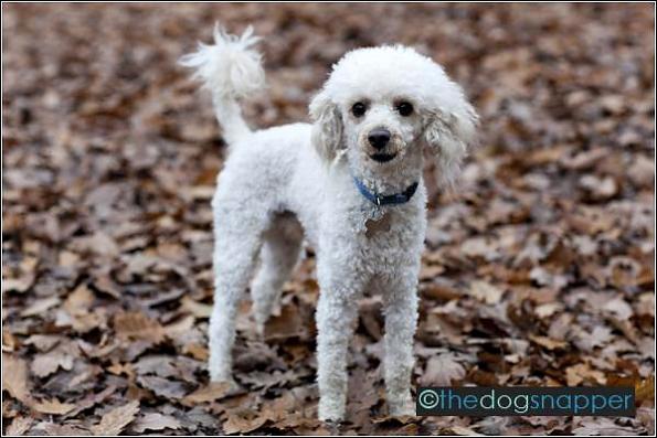 Alfie, Toy Poodle