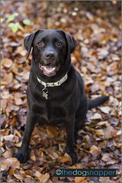 Maisy, Labrador