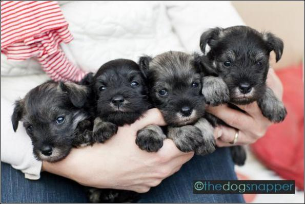 Nigella's Puppies (4½ weeks old)
