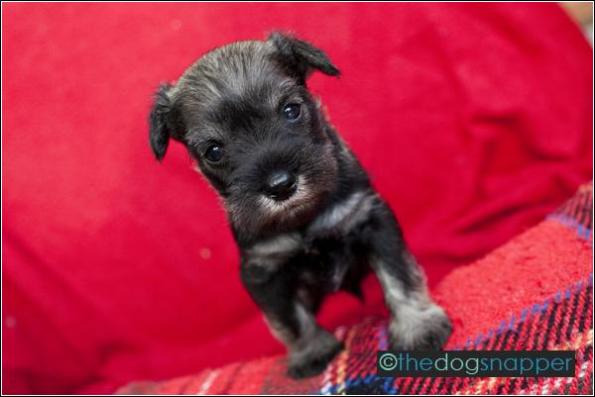 Bruno, Miniature Schnauzer Puppy