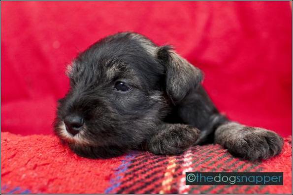 Sparky, Miniature Schnauzer Puppy