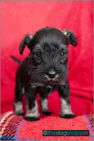 Freda, Miniature Schnauzer Puppy