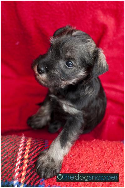 Margo, Miniature Schnauzer Puppy