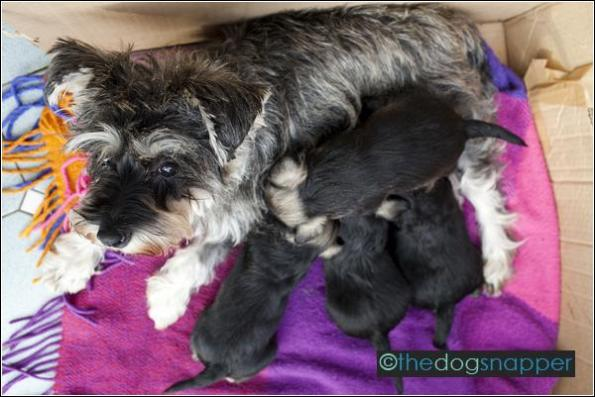 Nigella with Miniature Schnauzer Puppies