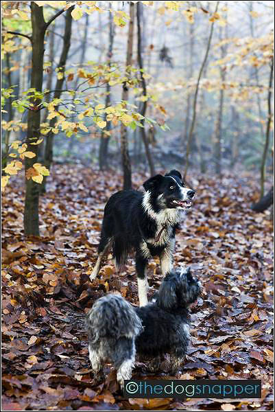 Smudge, Shih Tzu & Meg, Border Collie
