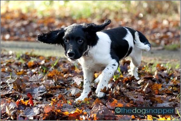 Archie, English Springer Spaniel