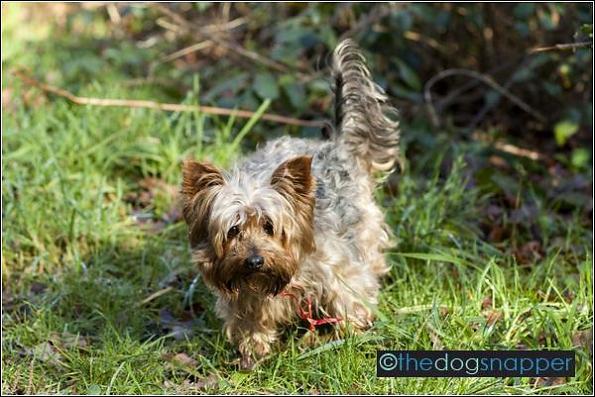 Nellie, Yorkshire Terrier