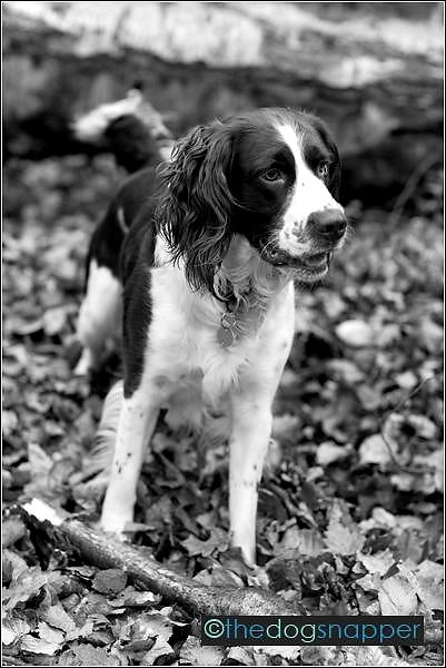 Brian, English Springer Spaniel