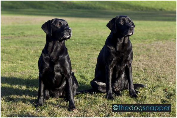 Inca (left) and Cassie, Labrador