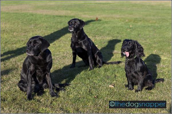 Cassie (left) and Inca (middle) Labrador and Aster (Working Cocker Spaniel)