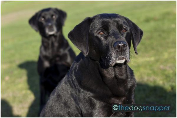 Cassie (front) and Inca, Labrador