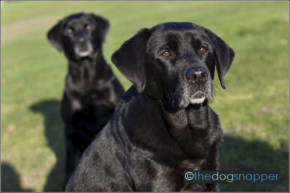 Cassie (front) and Inca, Labrador