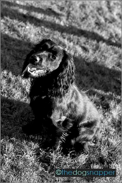 Aster, Working Cocker Spaniel