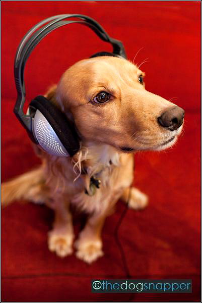 Cocker Spaniel with headphones