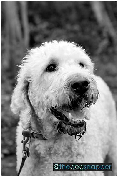 Monty, Labradoodle