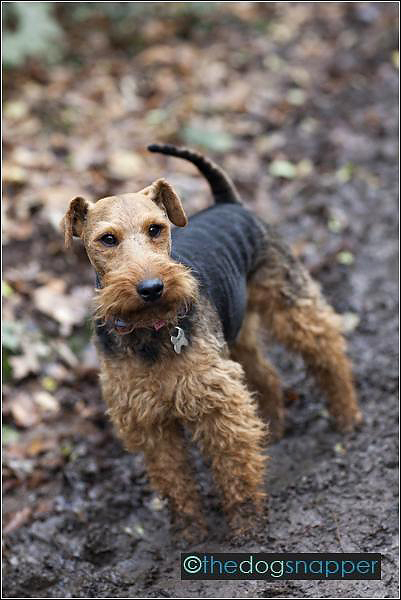 Bear, Welsh Terrier