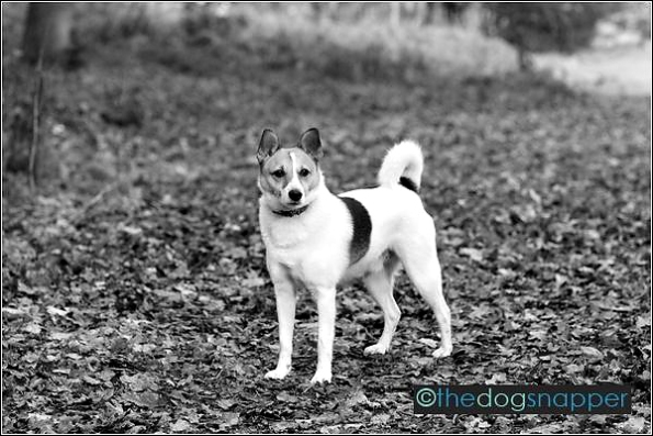 Jack, Japanese Spitz/Jack Russell cross