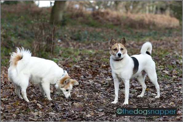 Sydney (left) and Jack, Japanese Spitz cross
