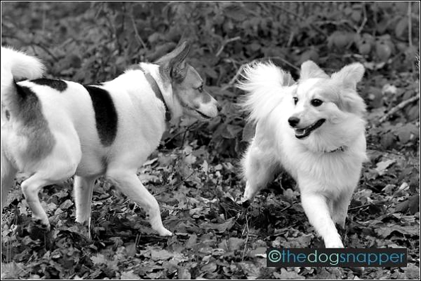 Sydney (right) and Jack, Japanese Spitz cross