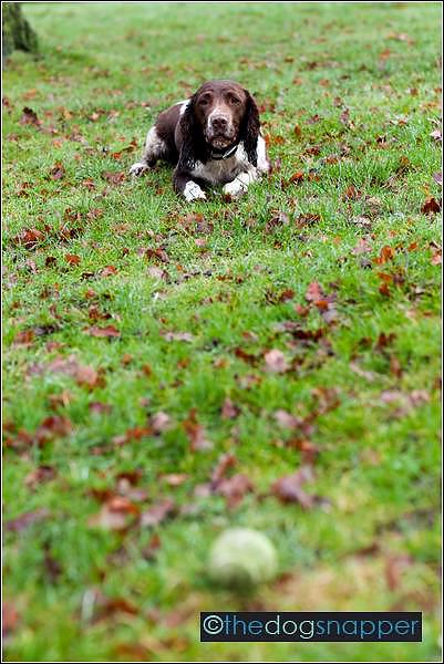 Lily, Springer Spaniel