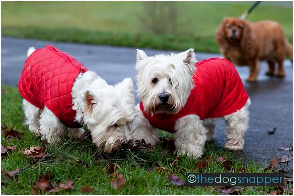 Suzy & April, West Highland Terriers