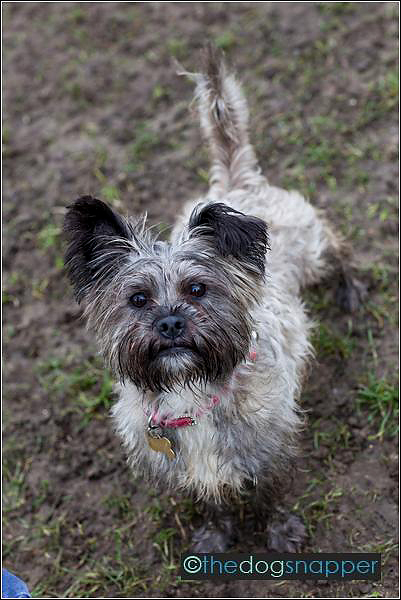 Ness, Shih Tzu/Cairn Terrier Cross