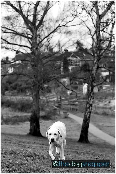 Rosie, Labrador