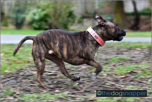 Nina, Staffordshire Bull Terrier