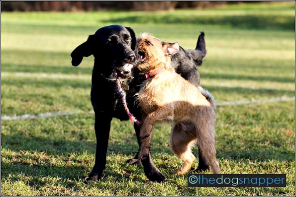 Ollie, Border Terrier X and Diesel, Labrador