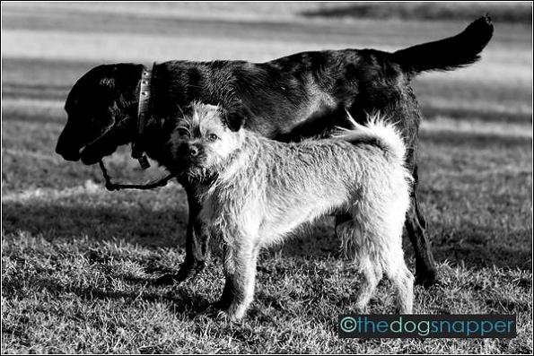 Ollie, Border Terrier X