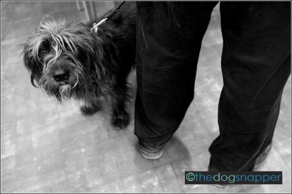 Scamp, Tibetan Terrier X