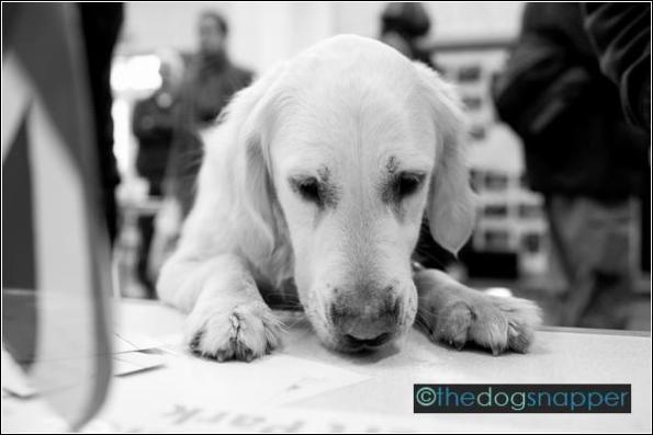 Baxter, Goldendoodle