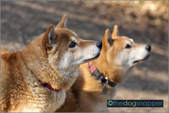 Phoebe & Jasper, Shiba Inu