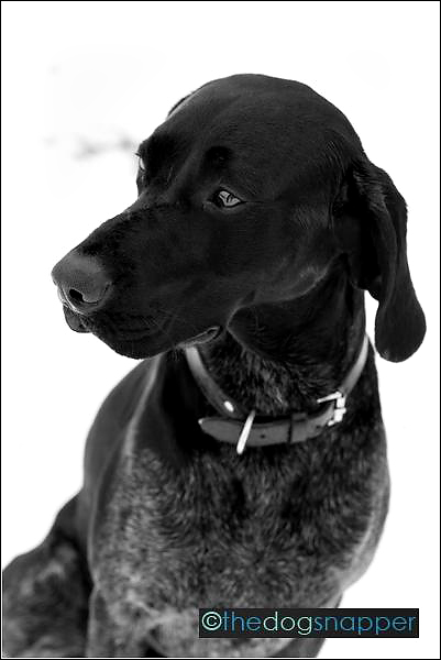 Nelson, German Sort-haired Pointer