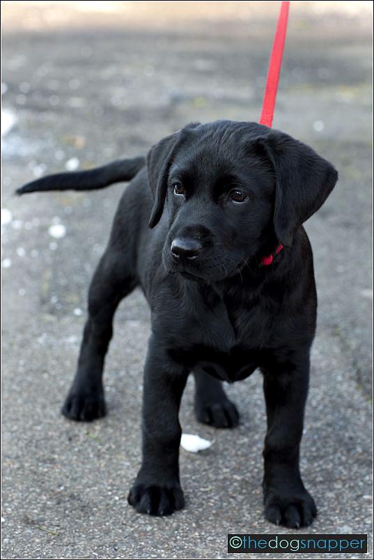 Lexie, Labrador Puppy