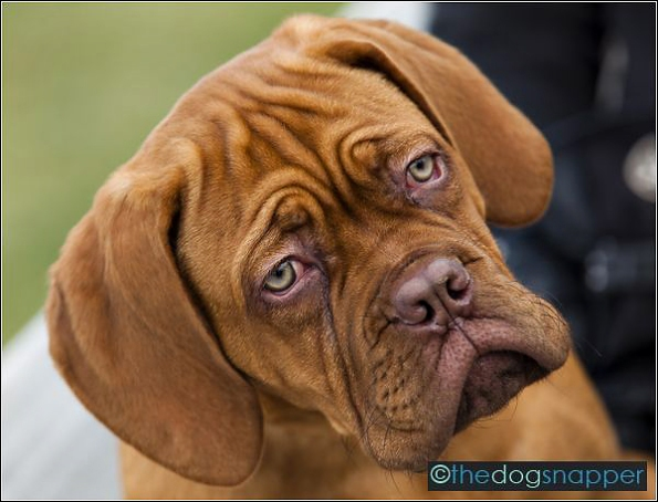 Ruby, Dogue de Bordeaux