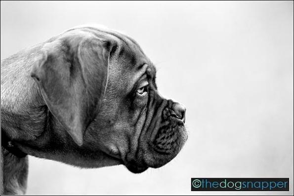 Ruby, Dogue de Bordeaux