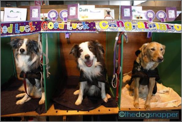 Wilmslow Flyball Team, (l to r) Silver, 007 and Sammy