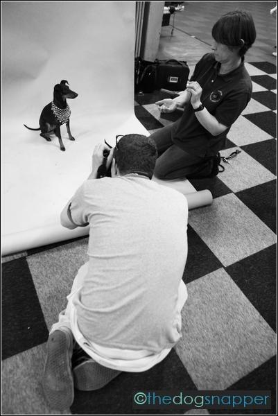 A Manchester Terrier being photographed by Ponystep magazine